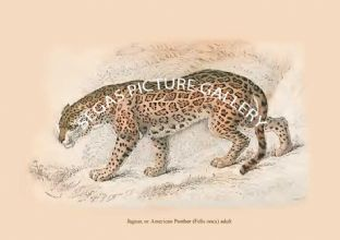 Jaguar, or American Panther (Felis onca) adult